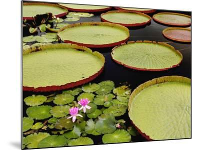 Water Lily and Lily Pad Pond, Longwood Gardens, Pennsylvania, Usa-Adam Jones-Mounted Photographic Print