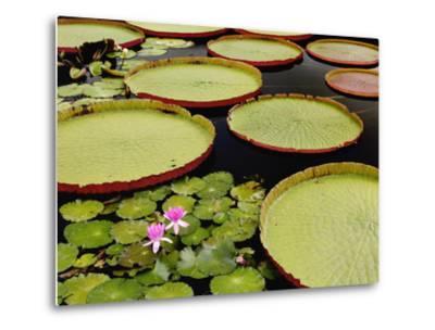 Water Lily and Lily Pad Pond, Longwood Gardens, Pennsylvania, Usa-Adam Jones-Metal Print