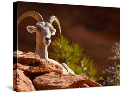 Desert Bighorn Sheep, Zion National Park, Utah, Usa-Maresa Pryor-Stretched Canvas Print