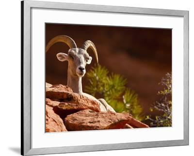 Desert Bighorn Sheep, Zion National Park, Utah, Usa-Maresa Pryor-Framed Photographic Print