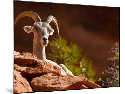 Desert Bighorn Sheep, Zion National Park, Utah, Usa-Maresa Pryor-Mounted Photographic Print
