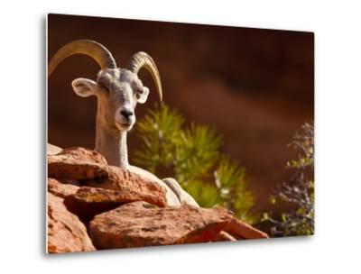 Desert Bighorn Sheep, Zion National Park, Utah, Usa-Maresa Pryor-Metal Print