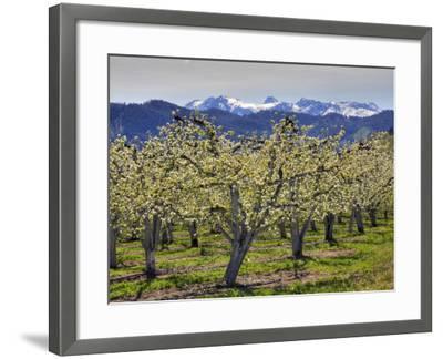 Apple Orchard in Bloom, Dryden, Chelan County, Washington, Usa-Jamie & Judy Wild-Framed Photographic Print
