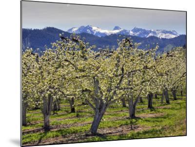 Apple Orchard in Bloom, Dryden, Chelan County, Washington, Usa-Jamie & Judy Wild-Mounted Photographic Print