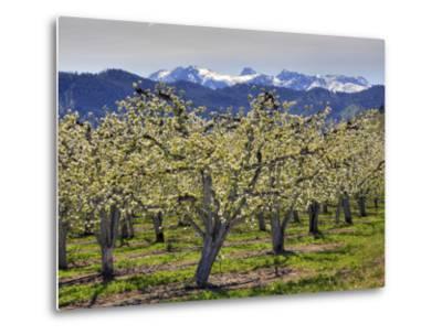 Apple Orchard in Bloom, Dryden, Chelan County, Washington, Usa-Jamie & Judy Wild-Metal Print