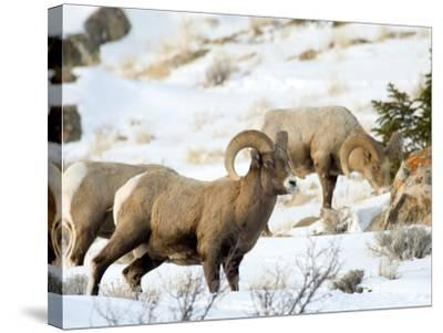 Big Horn Sheep Graze in the Gros Ventre Range, Jackson Hole, Wyoming, Usa-Daniel Schreiber-Stretched Canvas Print