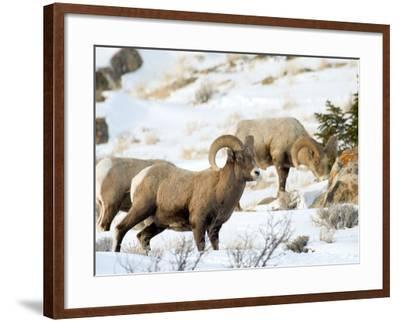 Big Horn Sheep Graze in the Gros Ventre Range, Jackson Hole, Wyoming, Usa-Daniel Schreiber-Framed Photographic Print