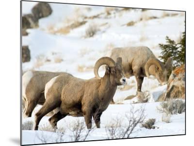 Big Horn Sheep Graze in the Gros Ventre Range, Jackson Hole, Wyoming, Usa-Daniel Schreiber-Mounted Photographic Print