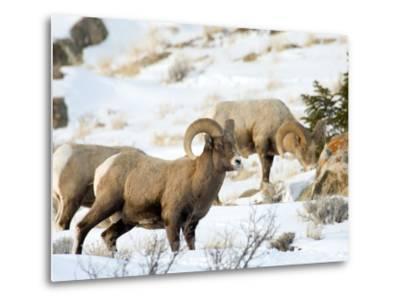 Big Horn Sheep Graze in the Gros Ventre Range, Jackson Hole, Wyoming, Usa-Daniel Schreiber-Metal Print