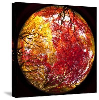 Autumn Foliage of Japanese Maple (Acer) Tree, England, Uk-Jon Arnold-Stretched Canvas Print