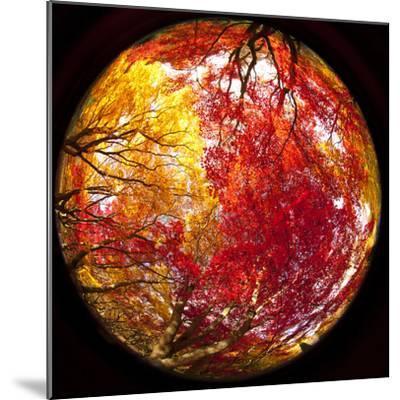 Autumn Foliage of Japanese Maple (Acer) Tree, England, Uk-Jon Arnold-Mounted Photographic Print