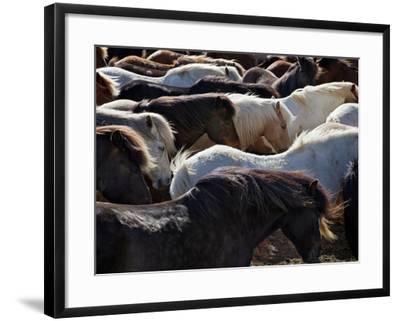Icelandic Horses Sheltering in a Strong Wind-Nigel Pavitt-Framed Photographic Print