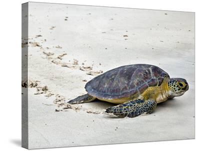A Green Sea Turtle Crossing Watamu Beach, White Sandy Beach Is an Important Breeding Ground for Thr-Nigel Pavitt-Stretched Canvas Print