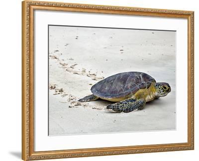 A Green Sea Turtle Crossing Watamu Beach, White Sandy Beach Is an Important Breeding Ground for Thr-Nigel Pavitt-Framed Photographic Print
