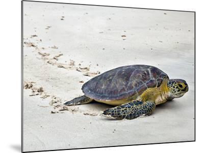 A Green Sea Turtle Crossing Watamu Beach, White Sandy Beach Is an Important Breeding Ground for Thr-Nigel Pavitt-Mounted Photographic Print