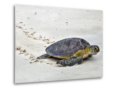 A Green Sea Turtle Crossing Watamu Beach, White Sandy Beach Is an Important Breeding Ground for Thr-Nigel Pavitt-Metal Print