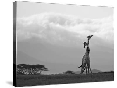 Two Reticulated Giraffes 'Necking' in the Early Morning-Nigel Pavitt-Stretched Canvas Print