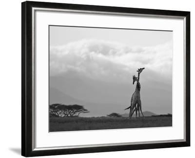 Two Reticulated Giraffes 'Necking' in the Early Morning-Nigel Pavitt-Framed Photographic Print