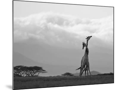 Two Reticulated Giraffes 'Necking' in the Early Morning-Nigel Pavitt-Mounted Photographic Print