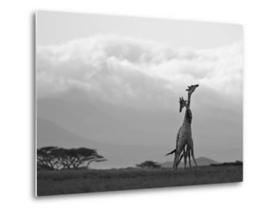 Two Reticulated Giraffes 'Necking' in the Early Morning-Nigel Pavitt-Metal Print