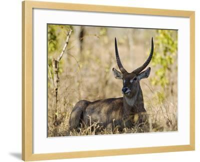Malawi, Majete Wildlife Reserve, Male Waterbuck in the Brachystegia Woodland-John Warburton-lee-Framed Photographic Print