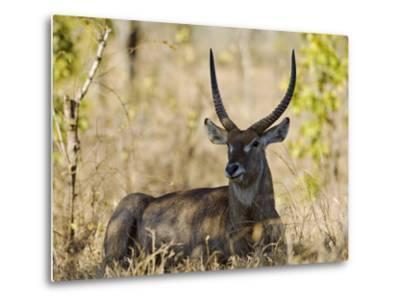 Malawi, Majete Wildlife Reserve, Male Waterbuck in the Brachystegia Woodland-John Warburton-lee-Metal Print