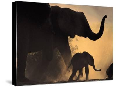 African Elephant and Young, Chobe National Park, Botswana-Frans Lanting-Stretched Canvas Print