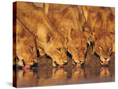 Lionesses Drinking at Waterhole, Chobe National Park, Botswana-Frans Lanting-Stretched Canvas Print