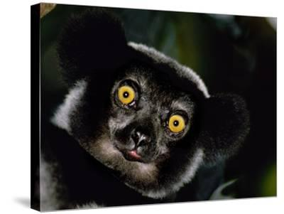 Indri Male, Madagascar-Frans Lanting-Stretched Canvas Print