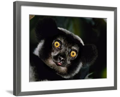 Indri Male, Madagascar-Frans Lanting-Framed Photographic Print