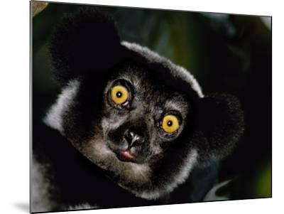 Indri Male, Madagascar-Frans Lanting-Mounted Photographic Print