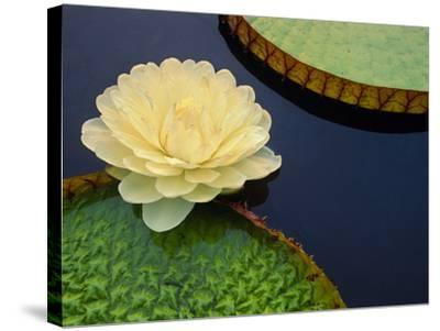 Giant Water Lily, Pantanal, Brazil-Frans Lanting-Stretched Canvas Print
