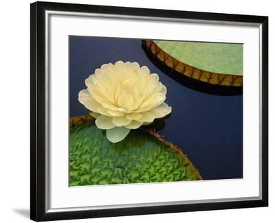 Giant Water Lily, Pantanal, Brazil-Frans Lanting-Framed Photographic Print
