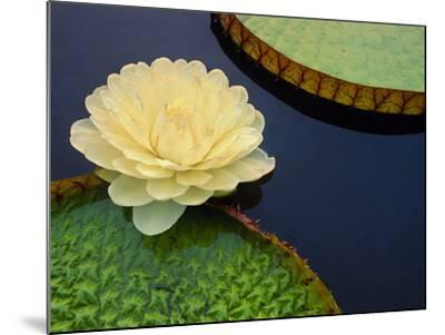 Giant Water Lily, Pantanal, Brazil-Frans Lanting-Mounted Photographic Print