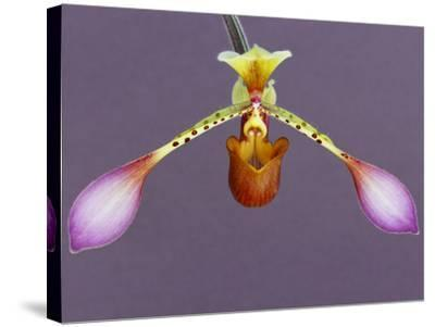 Orchid-Frans Lanting-Stretched Canvas Print