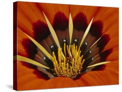 Gazania, Niewoudtville, South Africa-Frans Lanting-Stretched Canvas Print