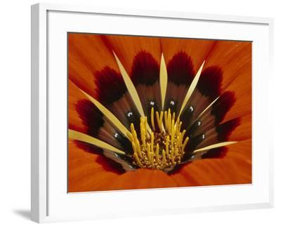 Gazania, Niewoudtville, South Africa-Frans Lanting-Framed Photographic Print