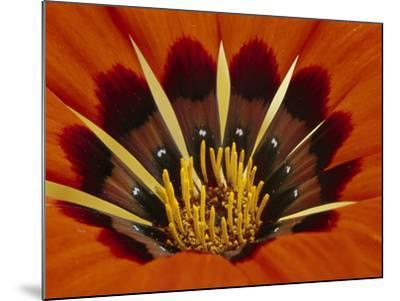 Gazania, Niewoudtville, South Africa-Frans Lanting-Mounted Photographic Print