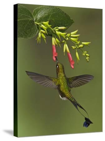 A Male Booted Racket-Tail Hummingbird (Ocreatus Underwoodii) Flying and Feeding-Glenn Bartley-Stretched Canvas Print