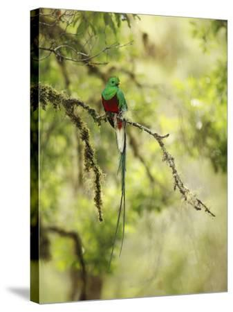 Resplendent Quetzal (Pharomachrus Mocinno), Costa Rica-Gregory Basco-Stretched Canvas Print