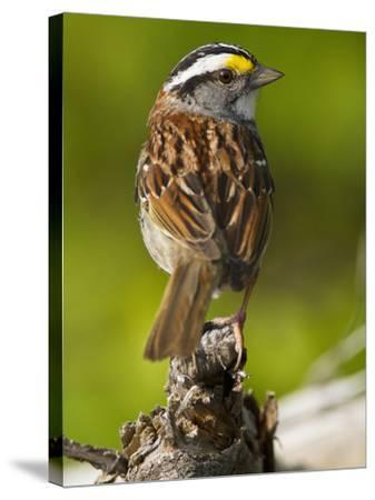 Male White-Throated Sparrow (Zonotrichia Albicollis), New Hampshire, USA-John Abbott-Stretched Canvas Print