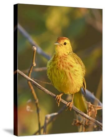 Mangrove or Yellow Warbler (Dendroica Petechia) Perched on a Branch Near the Coast of Ecuador-Glenn Bartley-Stretched Canvas Print