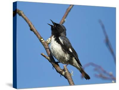 Two-Year Old Male Black-Throated Blue Warbler (Dendroica Caerulescens), New Hampshire, USA-John Abbott-Stretched Canvas Print