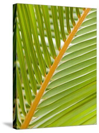 Close Up of a Palm Leaf-Ashley Cooper-Stretched Canvas Print