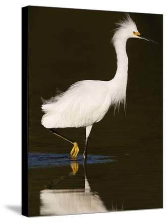 Snowy Egret (Egretta Thula)-John Cornell-Stretched Canvas Print