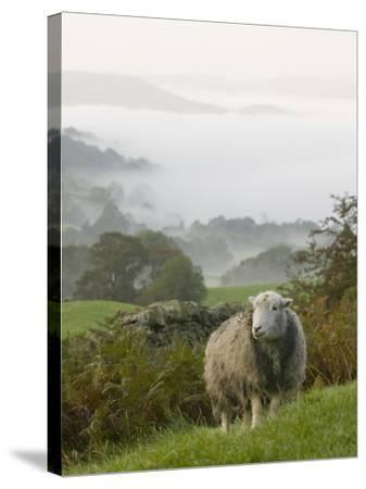 A Herdwick Sheep in the Lake District, United Kingdom-Ashley Cooper-Stretched Canvas Print