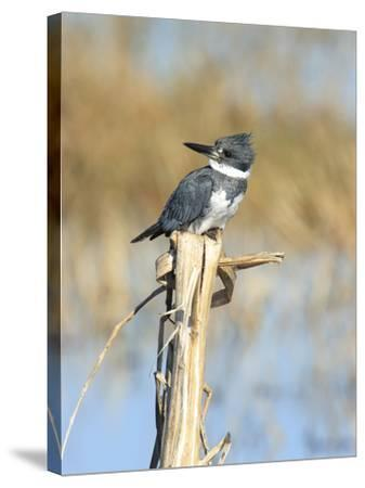 Male Belted Kingfisher (Ceryle Alcyon) Perching on Pig Weed Stalk-Marc Epstein-Stretched Canvas Print