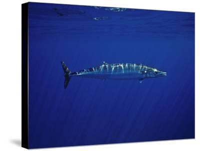 Ono or Wahoo (Acanthocybium Solandri) a Relative of the King Mackerel-David Fleetham-Stretched Canvas Print