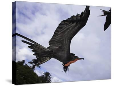 A Male Magnificent Frigatebird (Fregata Magnificens) in Flight over Santa Cruz Island-David Fleetham-Stretched Canvas Print