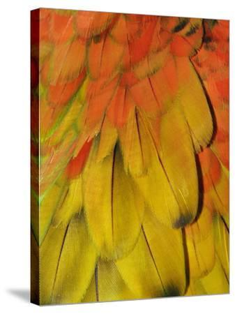 Feather Pattern on Macaw-Adam Jones-Stretched Canvas Print